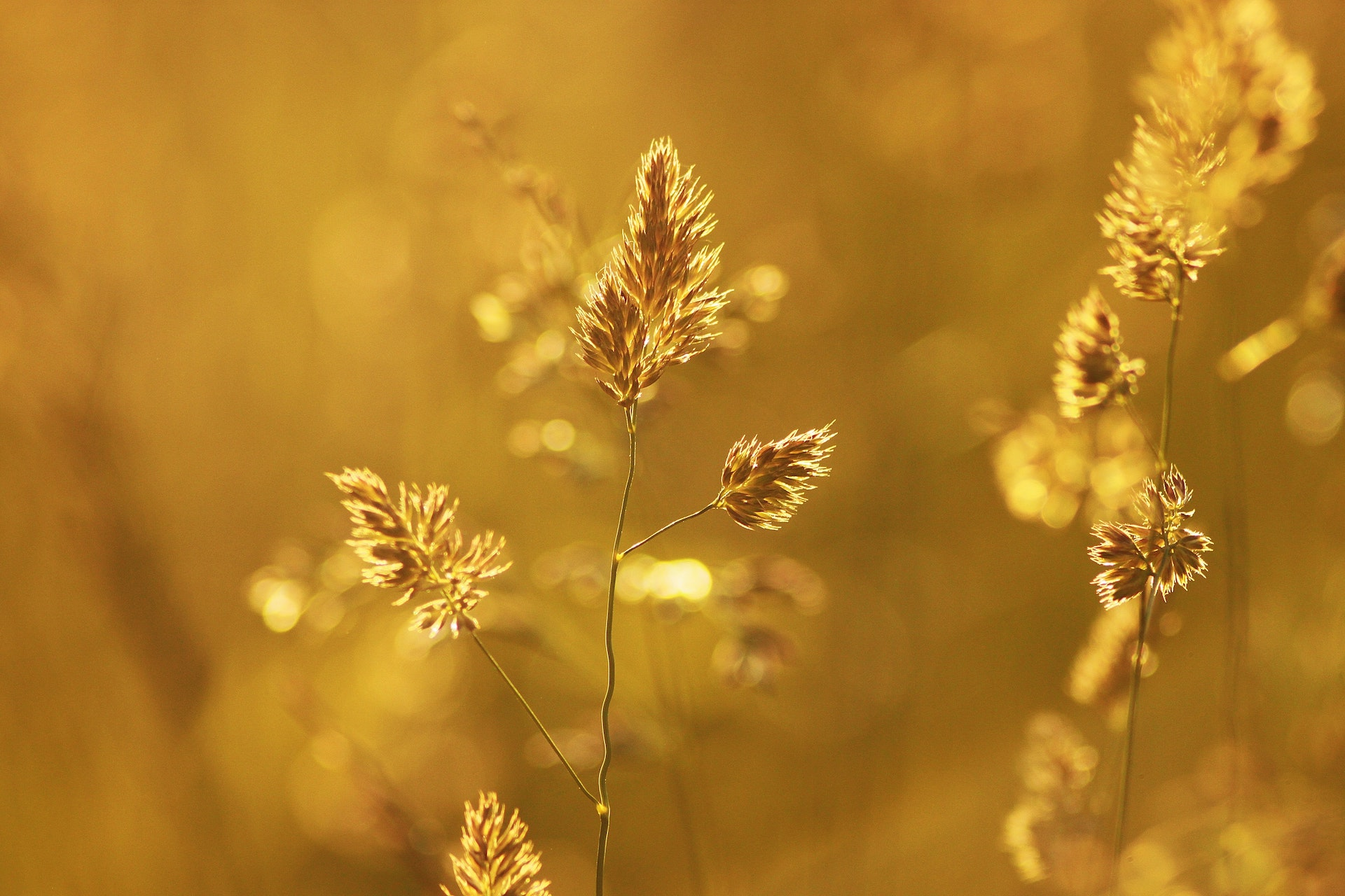 Close-up of Wheat Plant during Sunset