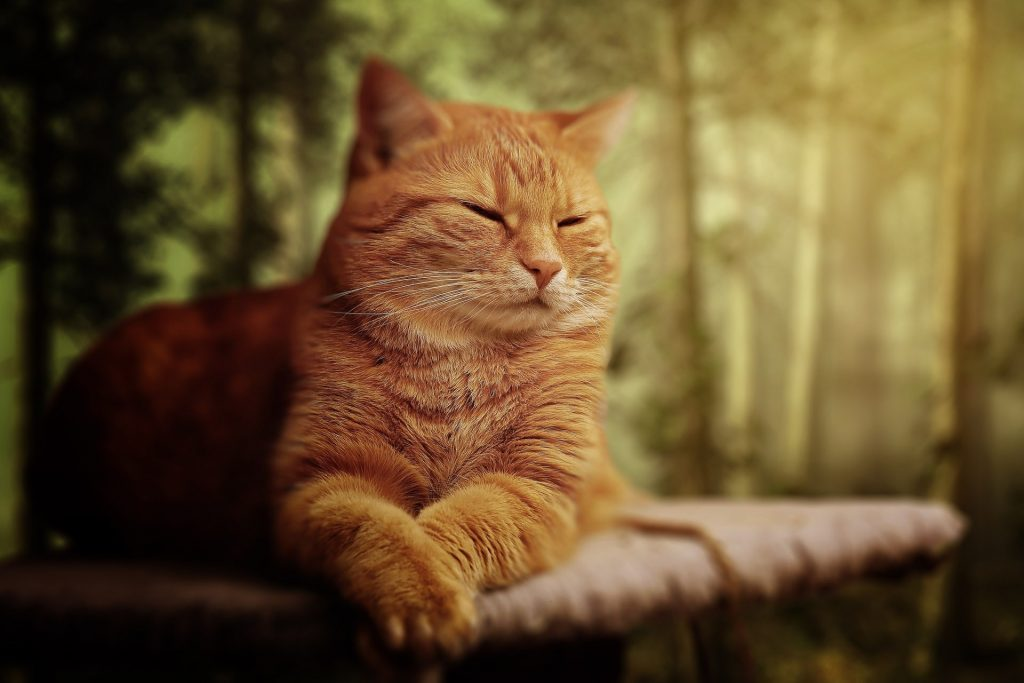 Short-furred Orange Cat on Brown Surface